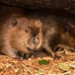 Zoo branching out with addition of new beaver, Maple joins Filbert in the lodge