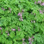 Attract Hummingbirds & Bees, Common Name: Bleeding Heart