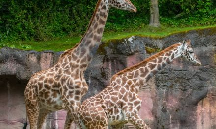 Meet Kiden, a New Masai Giraffe: Kiden moves into the Oregon Zoo