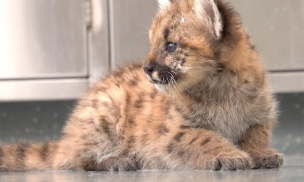 Orphaned 8-week-old cougar cub receives help from the Oregon Zoo
