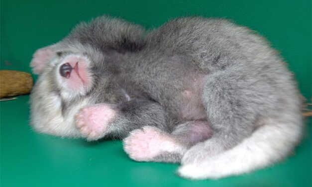 Mei Mei gives birth to a tiny cub, this baby Red Panda is the cutest new addition to the Oregon Zoo