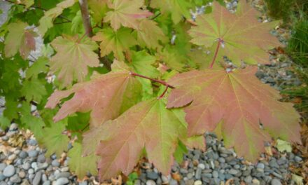 Common Name: Vine Maple: An attractive addition to any yard