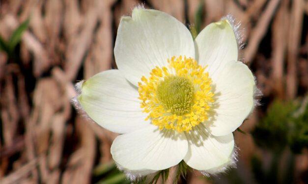 Common Name: Moptops, a nice accent to a native rock garden
