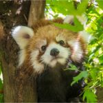 Oregon Zoo's red panda cub has a name: Meet Pabu