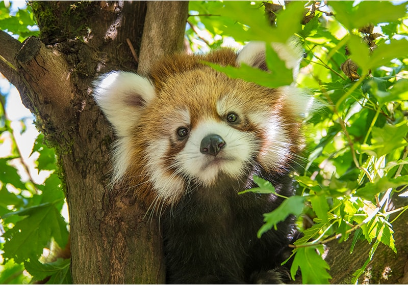 Oregon Zoo's red panda cub has a name: Meet Pabu