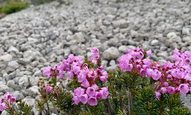 Red Mountain Heather have pink flowers in the shape of a bell