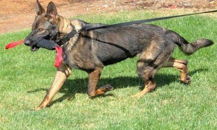 Introducing Officer Roscoe, Beaverton's new K-9 officer