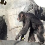 Chimps explore their new digs at zoo's Primate Forest habitat