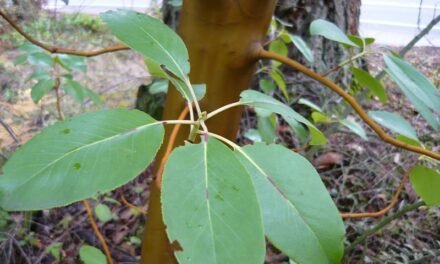 Pacific Madrone, a plant that thrives on rocky soil