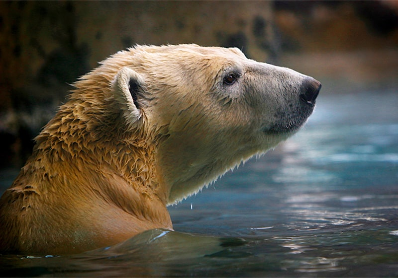 Nora the polar bear is coming home: Visit her at the new Polar Passage habitat