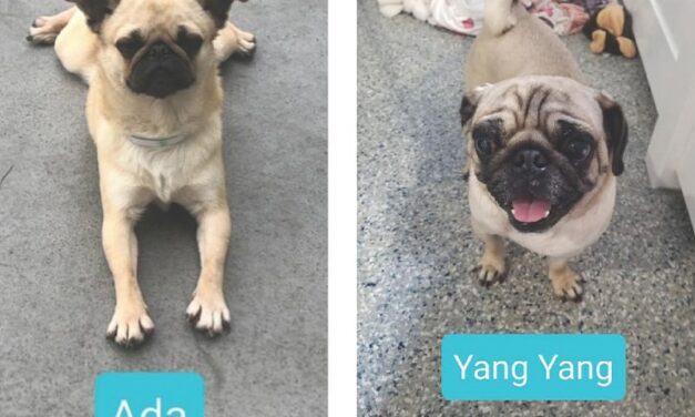 Large number of dogs rescued from China including almost 50 pugs