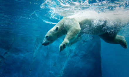 Beloved polar bear returns to Oregon Zoo: Nora's back!