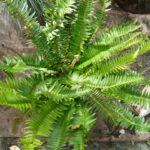 Common Name: Sword Fern, Named after its dagger-shaped leaflets
