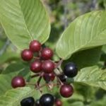 Common Name: Cascara, edible berries and the bark can be used as medicine