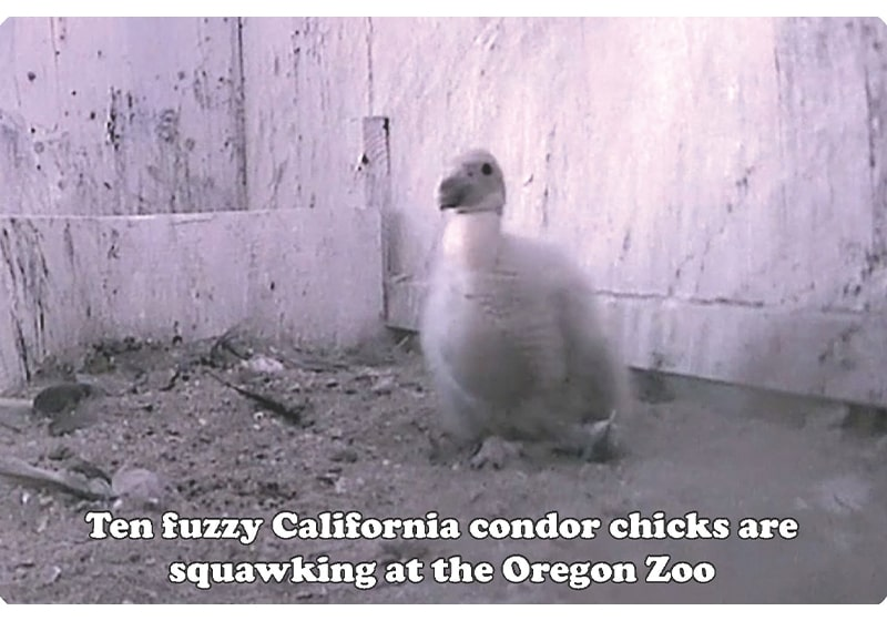 Oregon Zoo's condor-hatching season rates a '10' with conservationists: Each new condor is vitally important