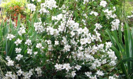 Common Name: Mock Orange, Lewis & Clark had many uses for this interesting plant