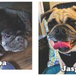 Five new pugs have come through the doors