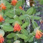 Orange Honeysuckle Vine: Ideal for a trellis or along a fence