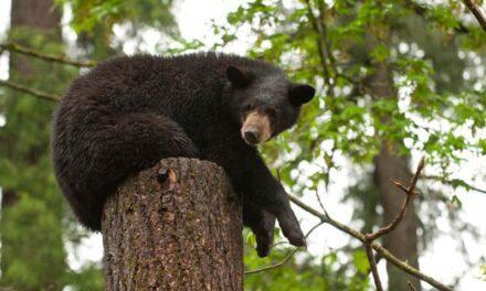 Zoo animal spotlight: American black bear: Come see me at Black Bear Ridge